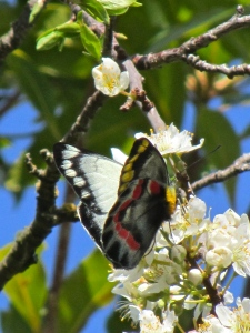 Red Spotted Jezebel in the plum tree