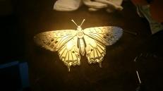 Ginger Bottari, Butterfly WIP